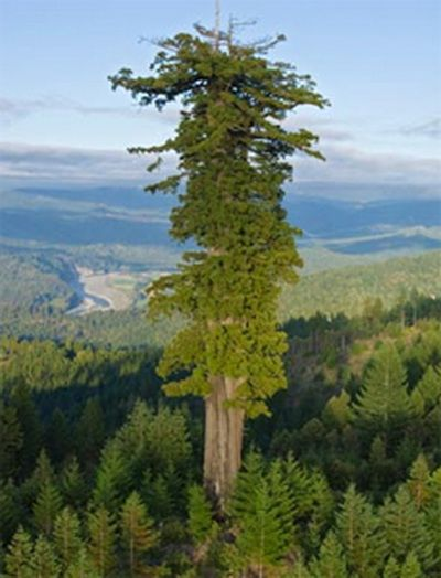 Sequoia......the big shot