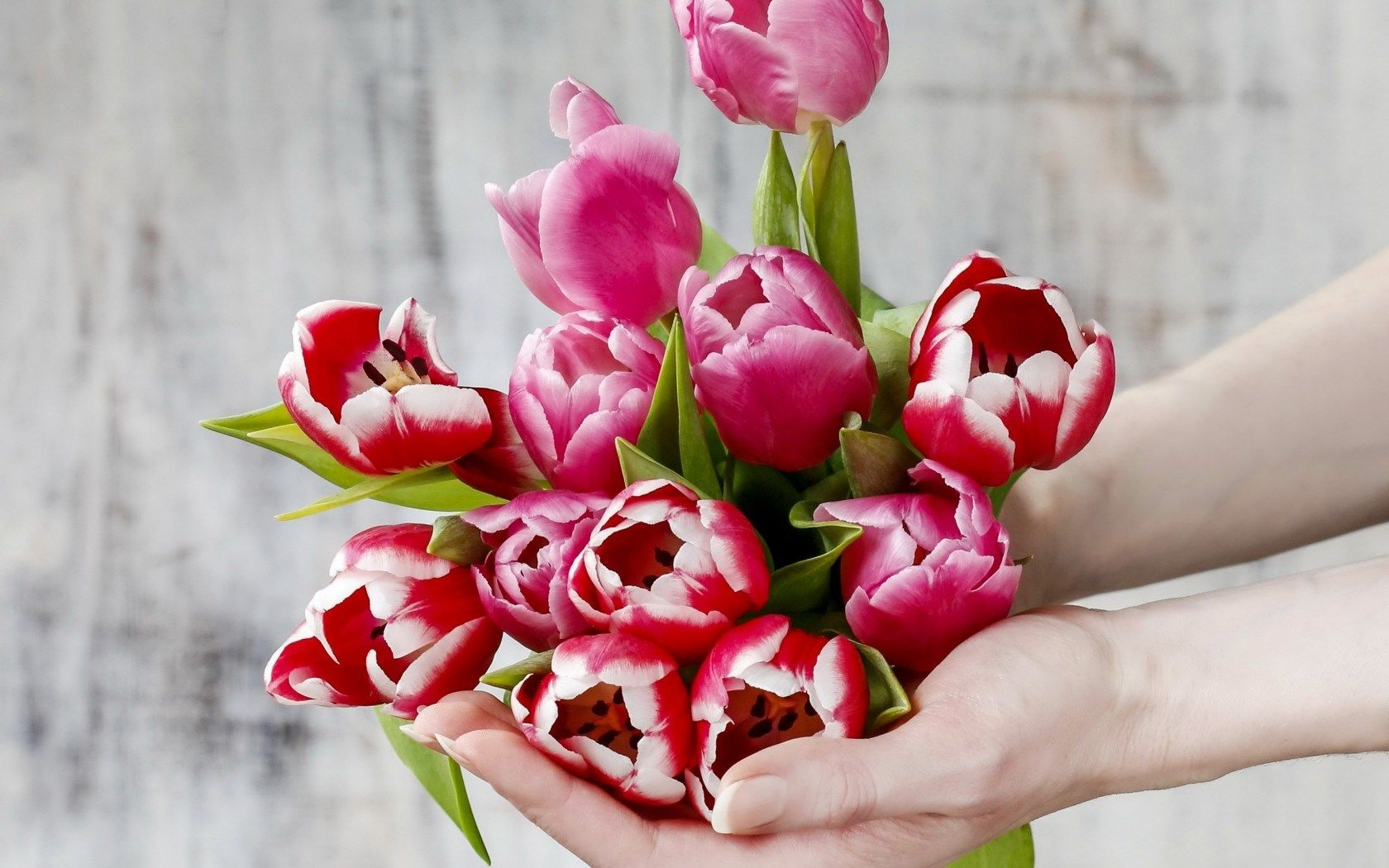 Tulips Flower In Hand Tulips Flowers Hd Wallpapers Free Download