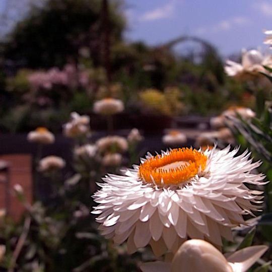 A fun Macro shot from my Lytro camera at Annie's Annuals
