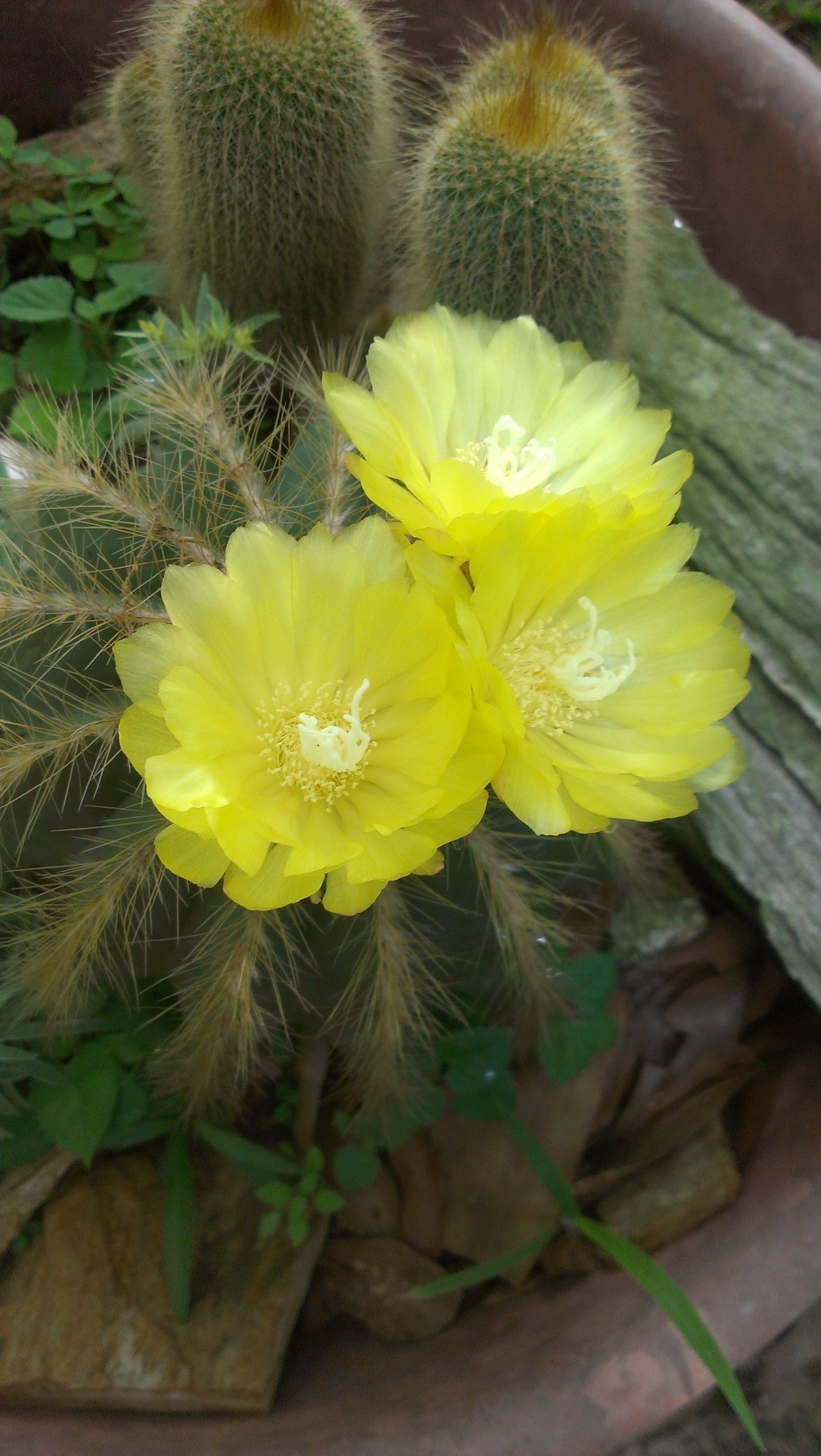 Yellow Cactus Flower Flowers Pinterest Cactus Flower Cacti