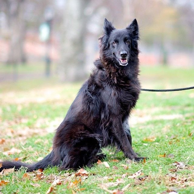 Chopper, a Belgian Sheepdog.