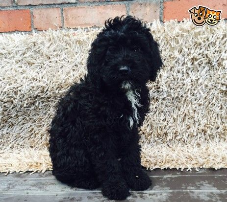 F1 Black Male Cockapoo Pups Black Cockapoo Cockapoo Pup