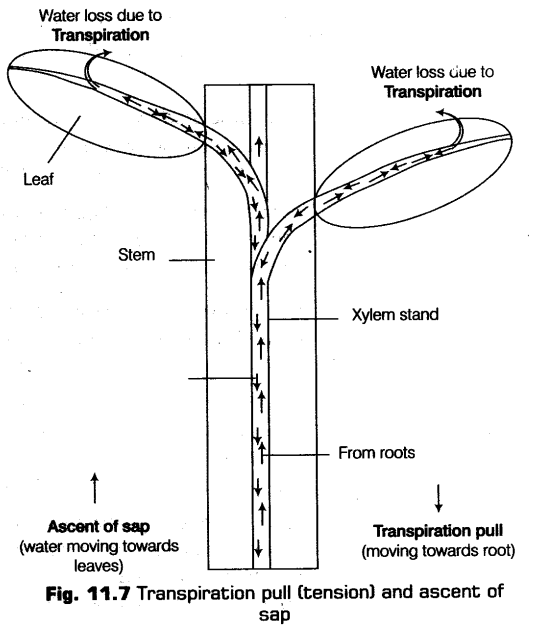 Transport in plants cbse notes for class 11 biology cbse notescbse transport in plants cbse notes for class 11 biology cbse notescbse notes class 11 biologyncert malvernweather Choice Image
