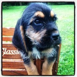 Adopt Mason On Dachshund Mix Puppies Hound Dog Basset Hound Dog