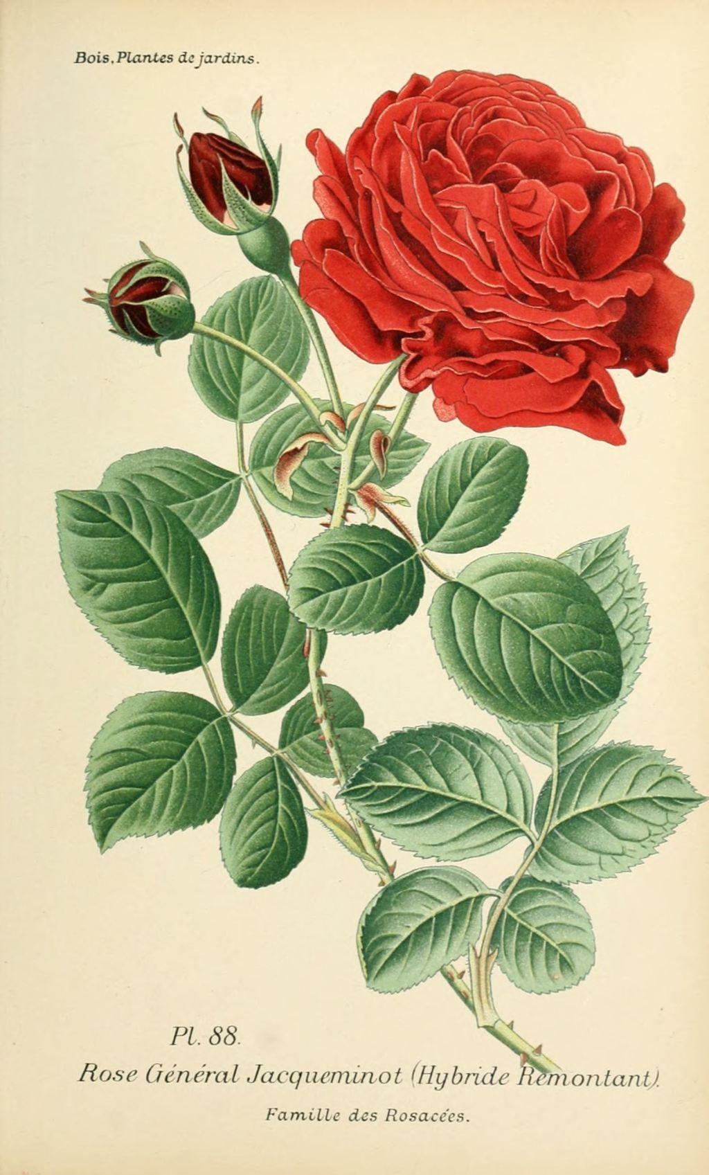Gravures fleurs de jardin gravure de fleur de jardin for Jardin roses