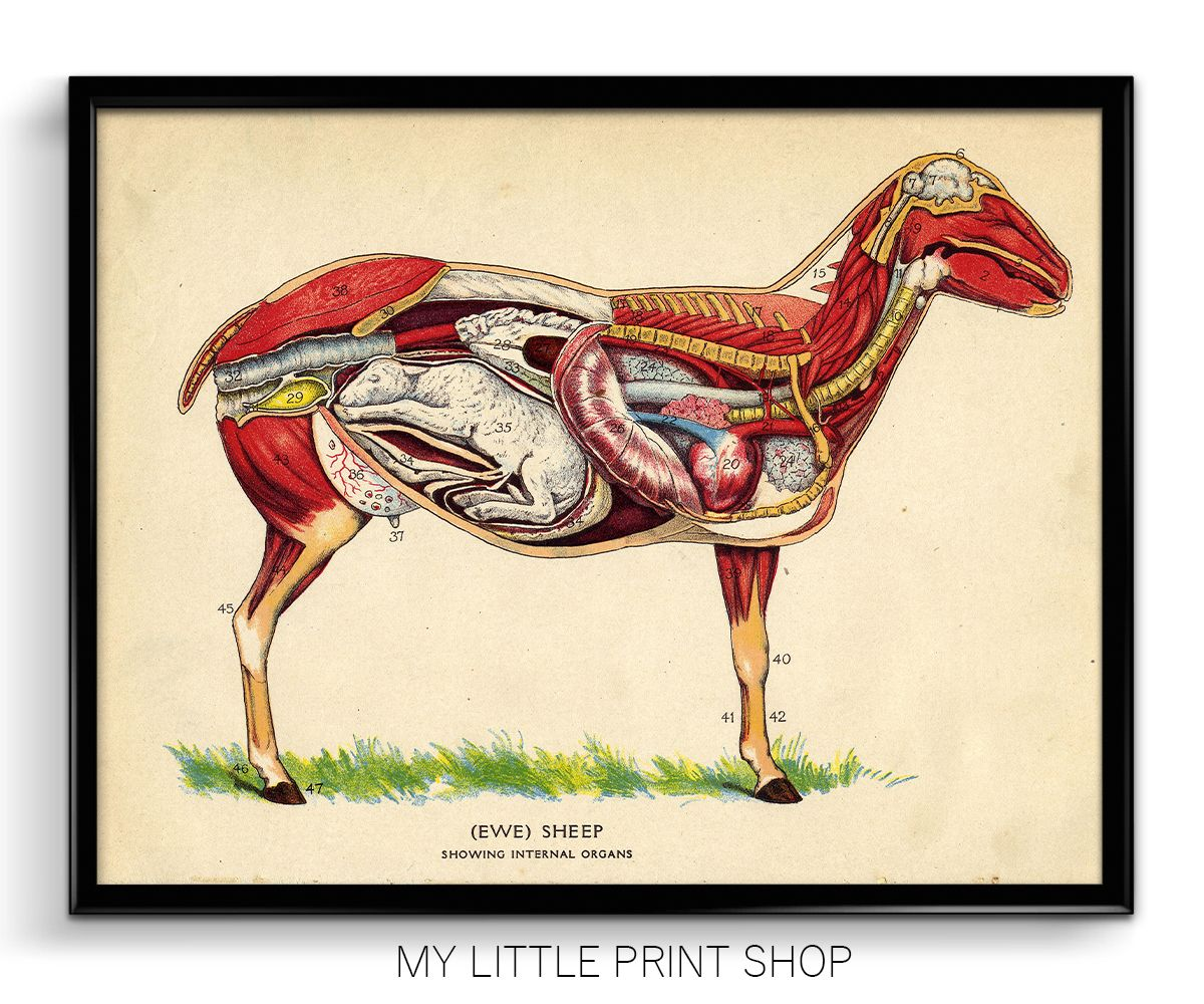 Vintage Sheep Internal Anatomy All of our prints are produced when ...