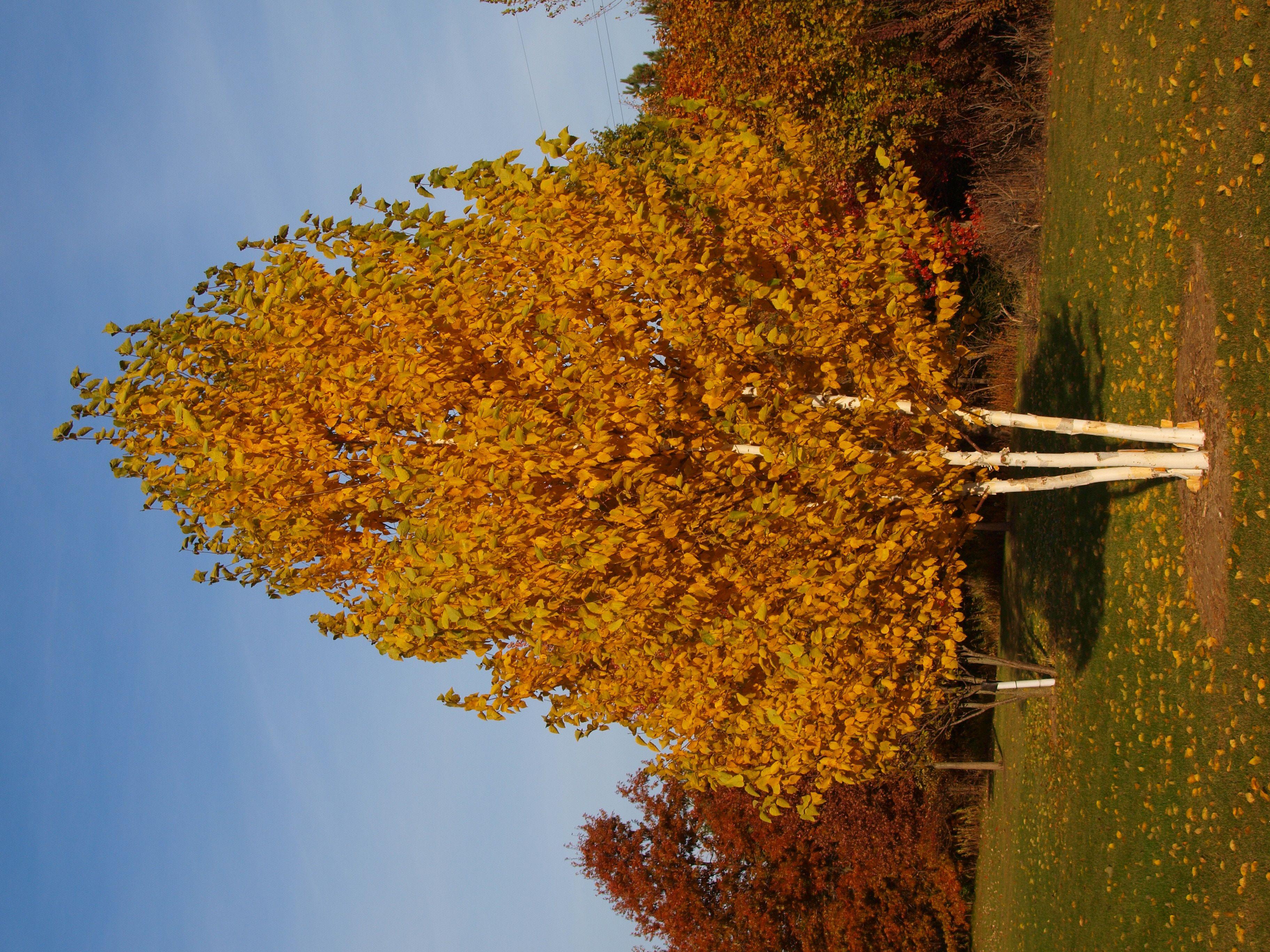 paper birch trees Paper birch (betula papyrifera var papyrifera) profile, photos, videos, county distribution map, and sightings in minnesota.