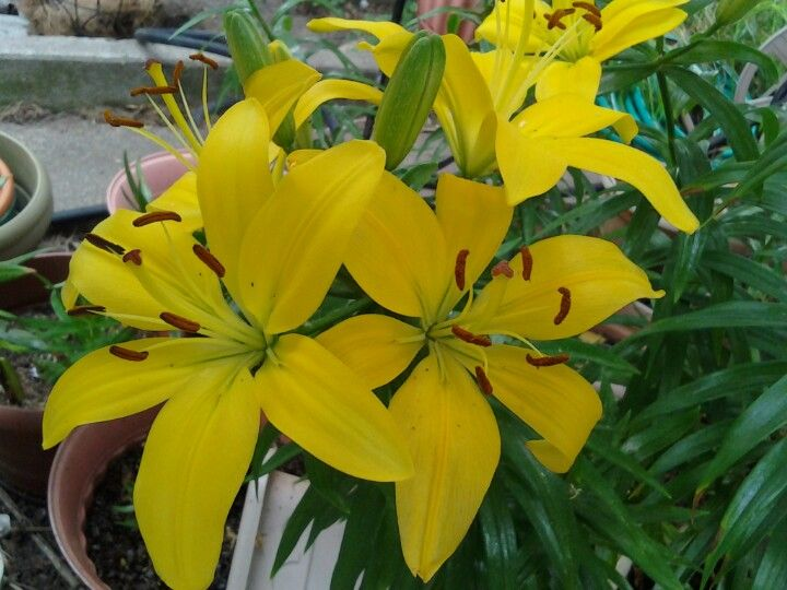 Yellow lilies yellow lily my pictures plants