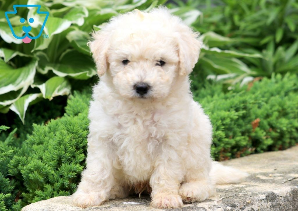 Clay Bichon Frise Puppy For Sale Keystone Puppies Bichon Frise Puppy Bichon Frise Puppies
