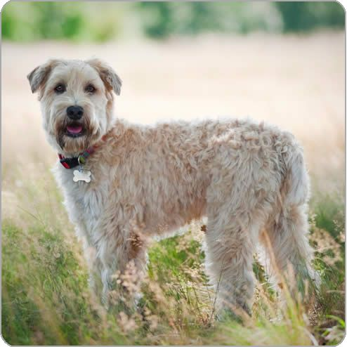 Soft Coated Wheaten Terrier | Stuff I'll Need | Wheaten ...