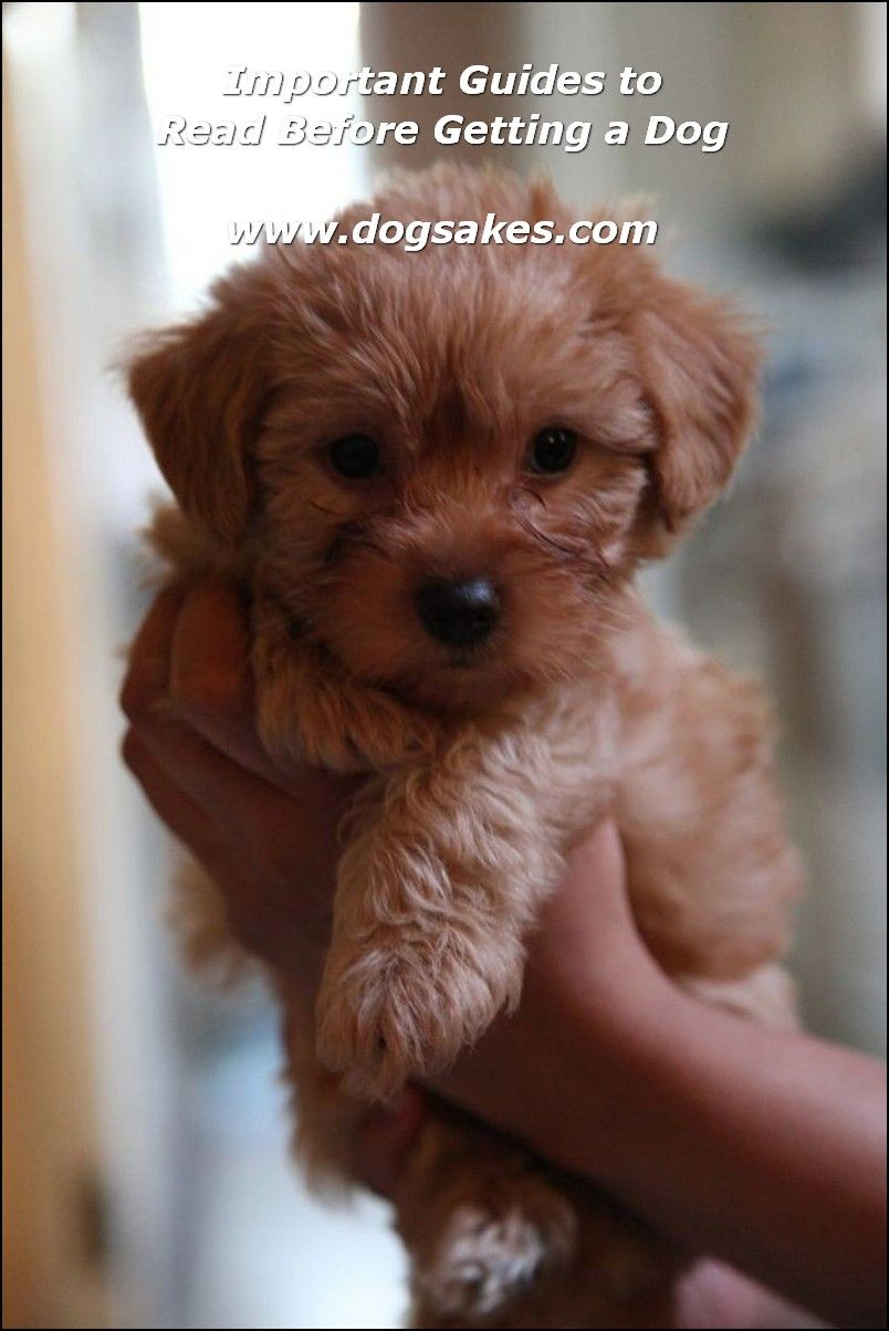 Buying Puppy Ultimate Guides Yorkie Poodle Yorkie Poo Puppies