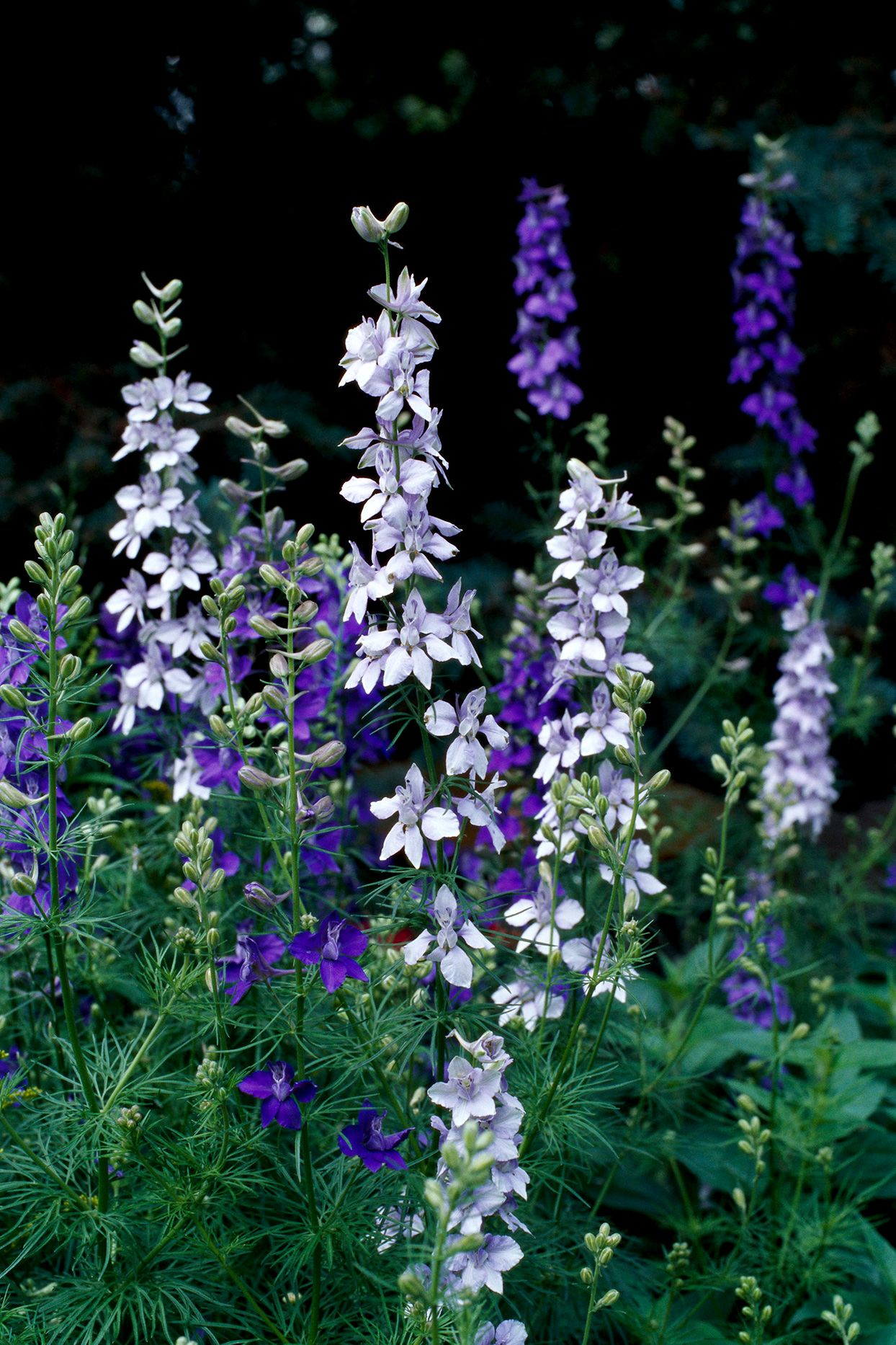 Larkspur Will Fill Your Garden With Airy Stalks Of Blue
