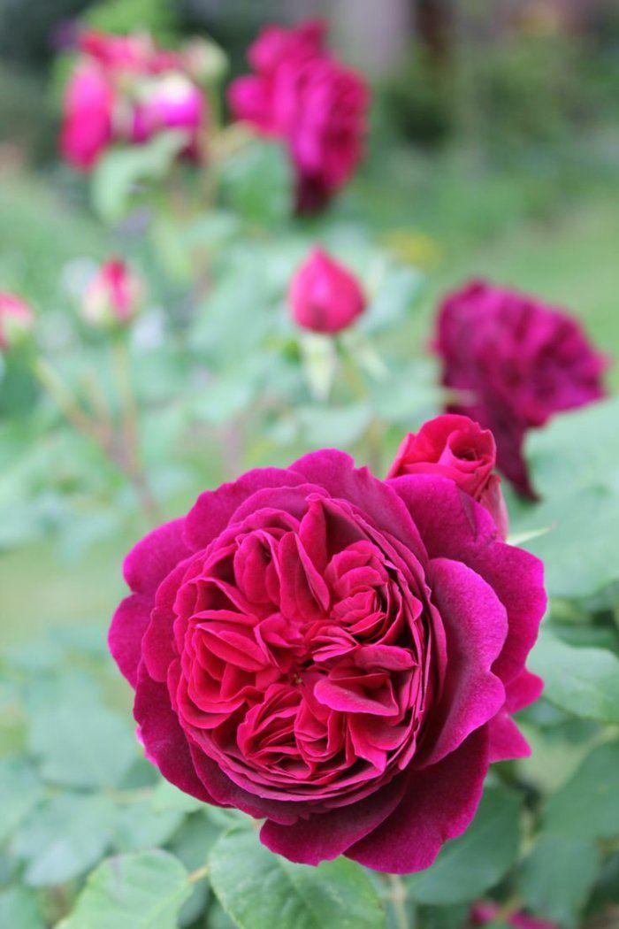 englische rosen ein visueller genuss im garten pink. Black Bedroom Furniture Sets. Home Design Ideas