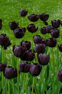 One of my favorite. black tulips. Had some in front yard, but the dumb squirrels ate them!