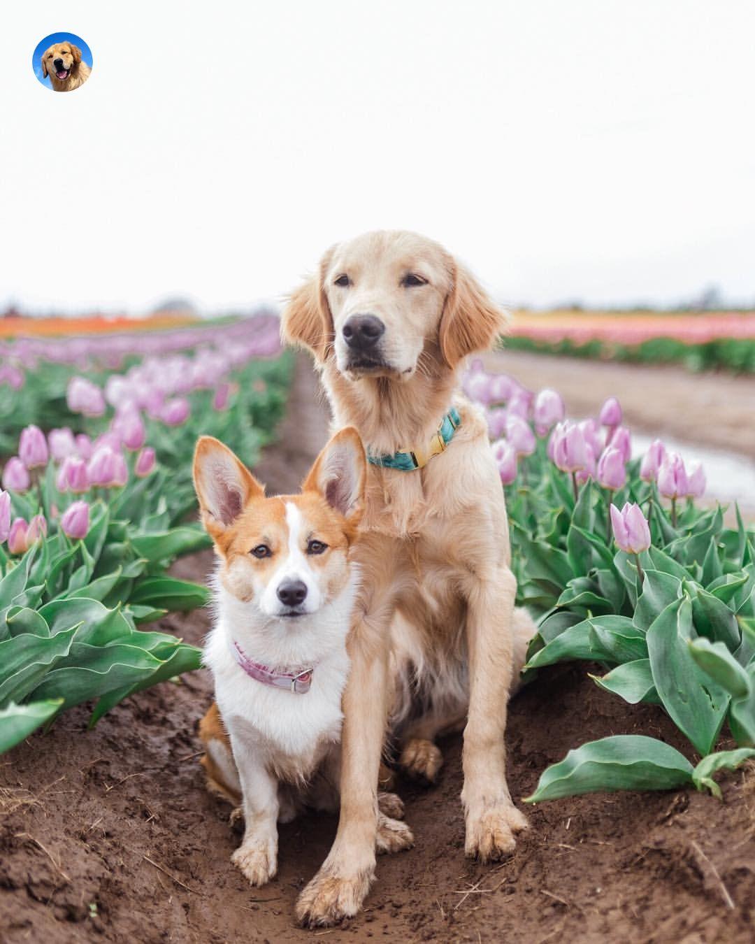 Golden Retriever And Welsh Corgi Cute Dogs Photography Golden