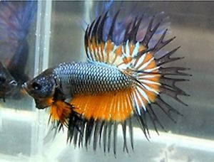 Imported Copper And Orange Mustard Gas Male Crowntail