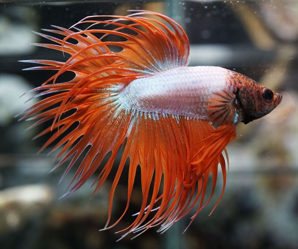Live Betta Fish Orange Spiked White Copper CT (Crowntail) Male C050 ...