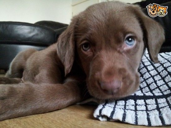Chocolate Labmaraner Puppies For Sale Puppies Dog Love Dogs