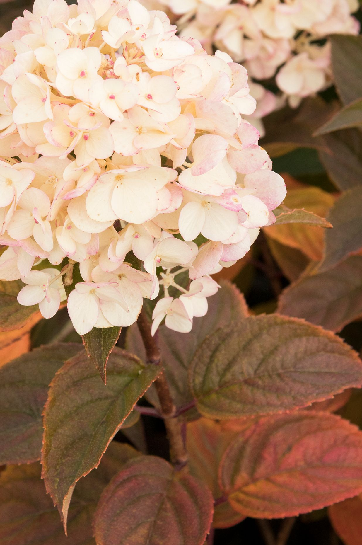 Candy Apple Hydrangea Plants Encyclopedia Growing Hydrangeas Hydrangea Monrovia Hydrangea