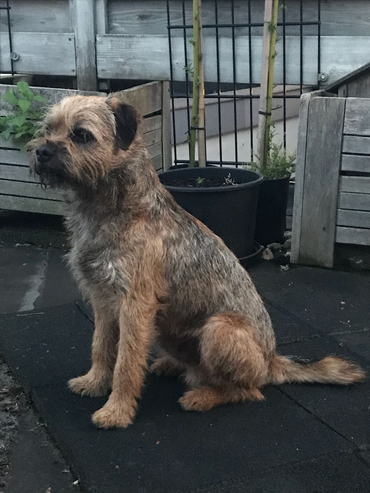 Pin By Hannah T Gregorio On Border Terriers Border Terrier