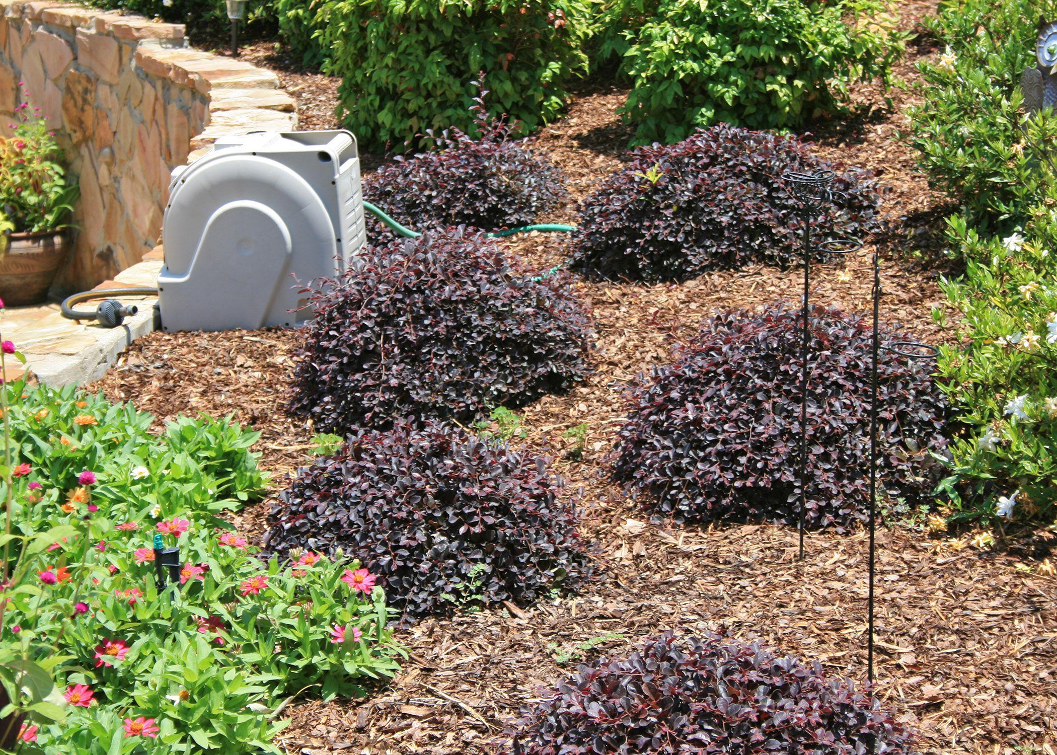Loropetalum Is A Versatile Landscape Plant That Comes In A