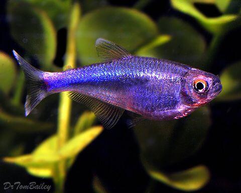Blue King Tetra Blue King Tetra Fish Petfish Aquarium Aquariums Freshwater Freshwaterfish Featureditem Aquarium Fish Freshwater Fish Tropical Fish