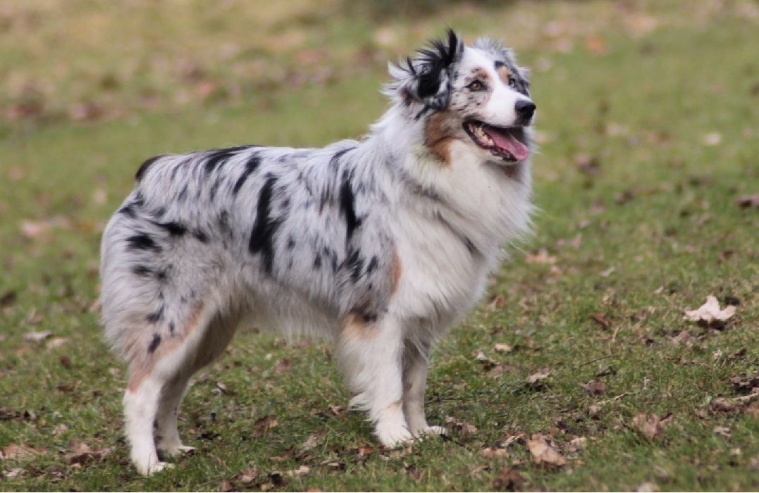Miniature Australian Shepherds Uk