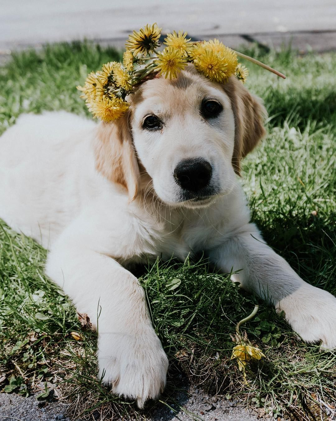 Golden Retriever With Dandelion Flower Crown Puppy Flowers Dog