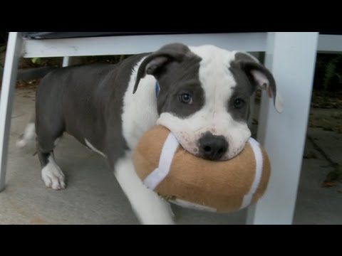 Precious Pitbull Puppies Play Football Pitbull Puppies Puppy