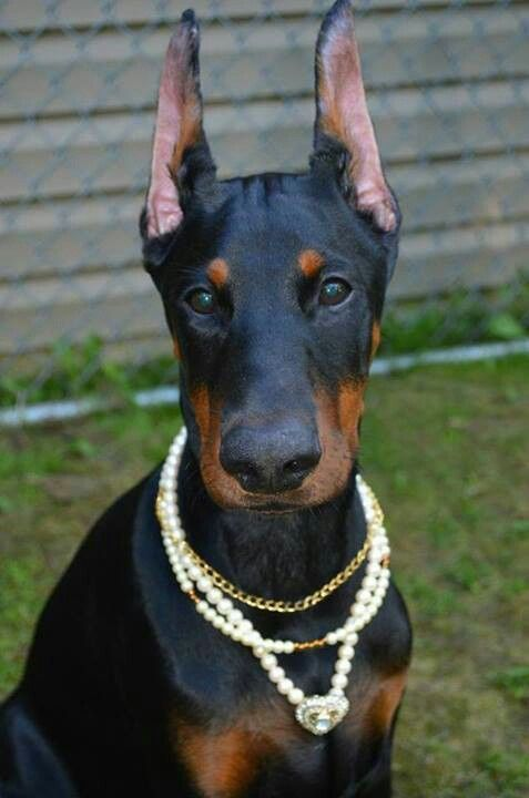 Doberman Pinscher Dog Named Bentley I Will Be Getting For My