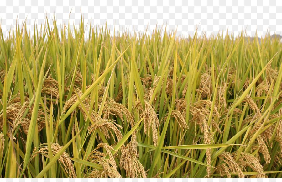 Rice Paddy Field Rice Paddy Grass Background Rice Paddy Grass