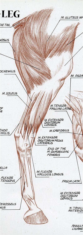 Resultado de imagen de anatomía de la pata del caballo | caballos ...
