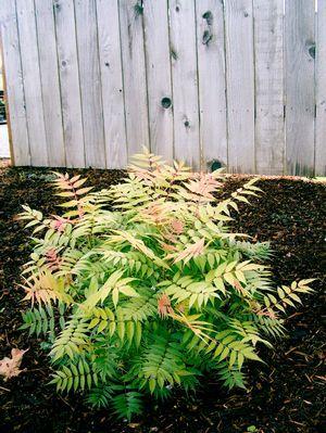 This Guy Is My New Favorite Plant Sorbaria Sorbifolia Sem Sem Ash Leaf Spirea Garden Shrubs Plants Spirea Shrub