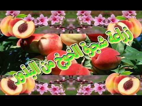 زراعة الخوخ الدراق حب الملوك الكرز المشمش البرقوق من البذرة في المنزل 1 Youtube Fruit Apple Projects
