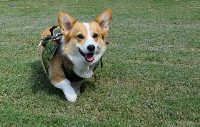Corgi Fairy Saddle Corgi Fairy Pet Dogs