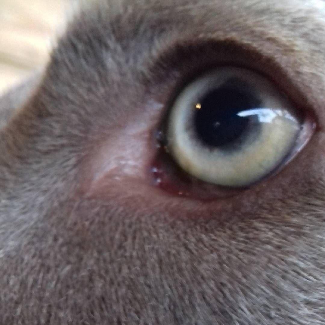 #weimaranersofinstagram #weimaraner_feature #@love.weimaraner #@weimaranernetwork #eye #dogsofinstagram #weimaraner #photography #nature http://tipsrazzi.com/ipost/1524877309612554936/?code=BUpc9V9gnq4