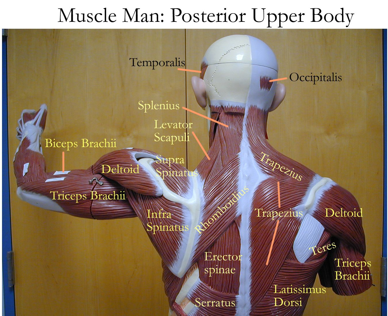 Labelled Muscles Of The Upper Back Upper Back Muscles Man ...
