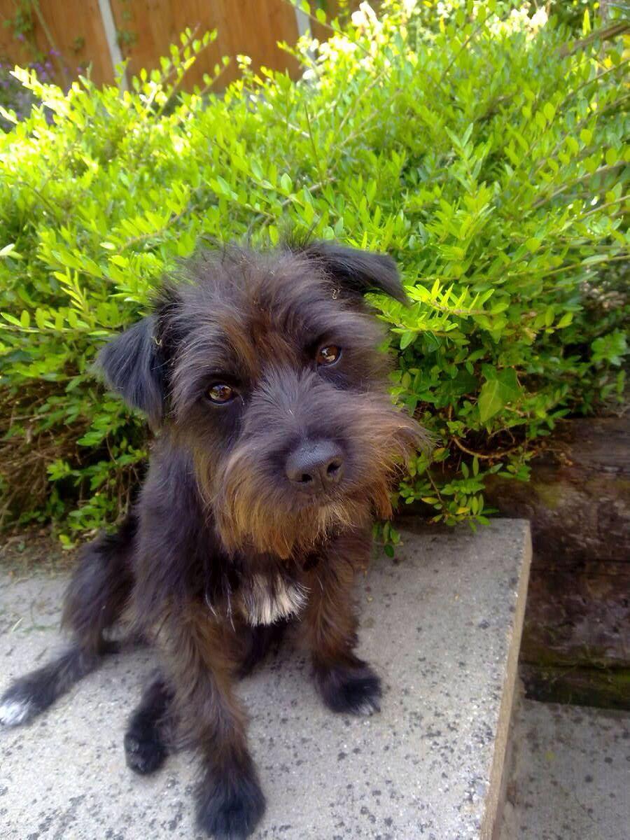Border Terrier Cross Jack Russell Rossi Border Terrier