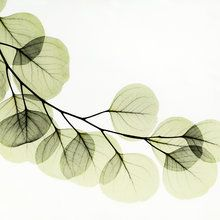 Fototapete - Eucalyptus