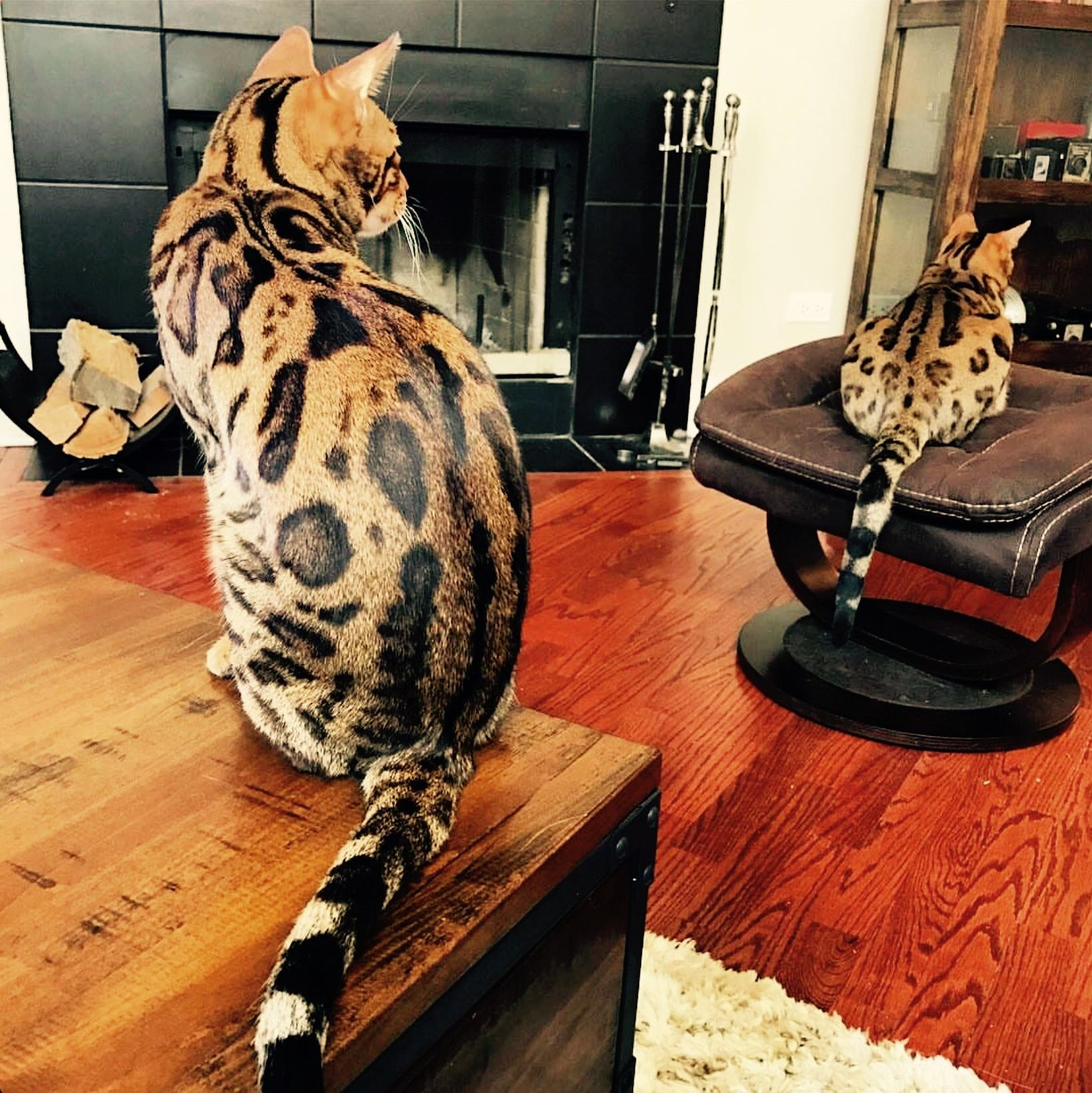 Pin by Nellie Chérie on Stuff! Bengal cat, Cat