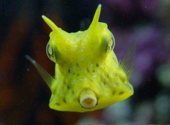 Lil Baby Cowfish Kawaii Pinterest Cow Fish Deep Sea Creatures Fish
