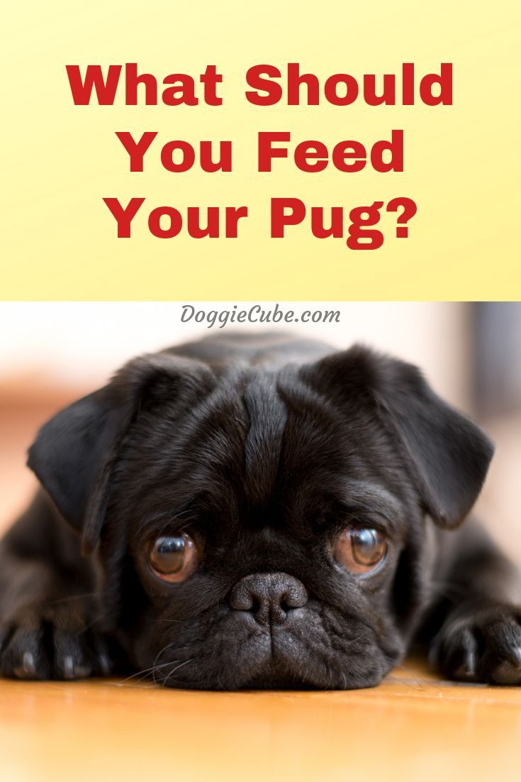 What Should You Feed Your Pug Dog Nutrition Dog Food Recipes Pugs
