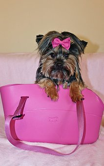Teacup Yorkie Puppies For Sale In New Jersey Nj Teacup Yorkie