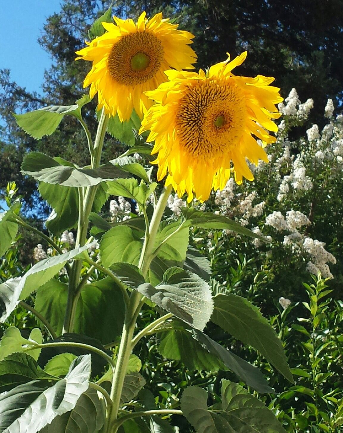 Toccara Found Beauty In Her Own Back Yard Beautiful Sunflowers