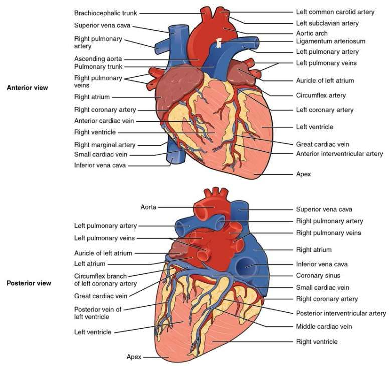 The Shows A Detailed Diagram Of The Heart With The Anterior And