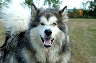 Long Haired Malamute Alaskan Malamute Aggressive Dog Breeds Malamute