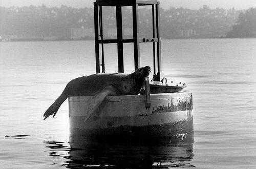 Sea lion, West Point, Seattle, 1987