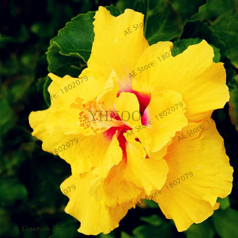 100pcs Bag Colorful Bonsai Hibiscus Seeds Hibiscus Hibiscus Rosa Sinensis Hibiscus Flowers