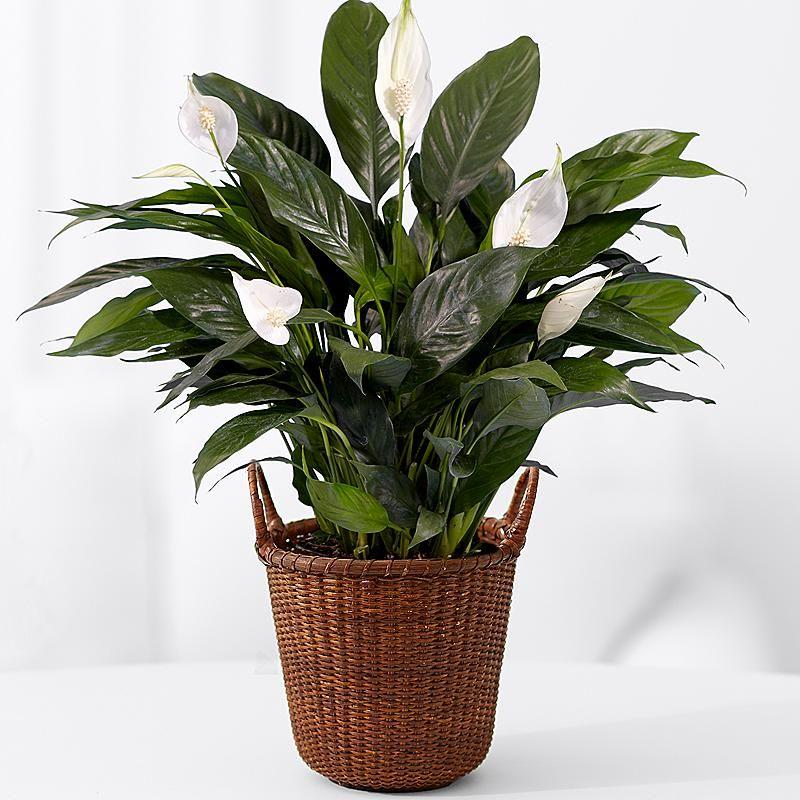 indoor house plants names - Indoor House Plants for ... on indoor seedlings, indoor ferns, indoor orchids, indoor roses, indoor trees, indoor plants, indoor shrubs, indoor palms, indoor organic gardening, indoor spices,