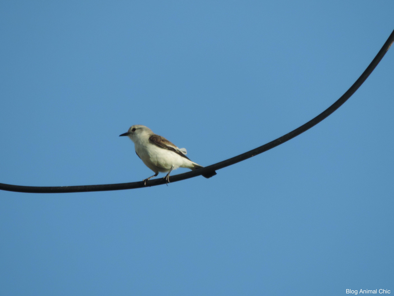 Noivinha-branca (Xolmis velatus) fotografada em São José do Rio Pardo/SP, em Outubro/14.